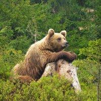 Закарпатский медведь :: Олег Нигматуллин