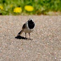 трясогузка :: linnud
