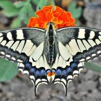 Бабочка :: Иван Владимирович Карташов