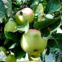 яблоки :: elena манас