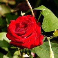 сентябрьская роза :: Александр Корчемный