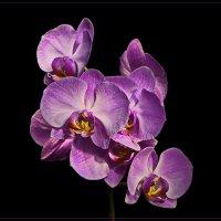 орхидея :: Svetlana Plasentsiia