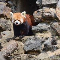 Красная панда :: Владимир Брагилевский