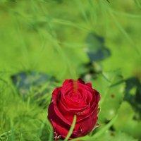 Роза :: Александр Сидоров