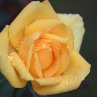 Поздняя чайная  роза :: Виталий  Селиванов