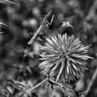 Черно-белая охота богомола :: Андрей Левин