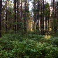 Солнце в лесу :: Тамара Гераськова