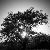 Дерево :: Виктория Адамовская-Багрий