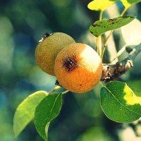 Плоды осени :: Swetlana V