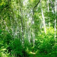 В Берёзовом лесу :: Вячеслав Баширов