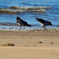вороны на пляже :: linnud