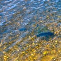 Прозрачная вода Волги. Чкаловск. :: Сергей Тагиров