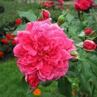 Роза :: татьяна петракова