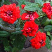 Розочки под дождём... :: Тамара (st.tamara)