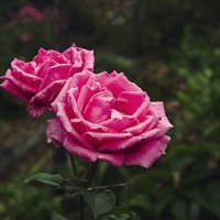 Роза :: Анастасия Рябова