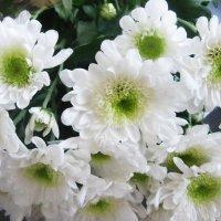 Белые хризантемы :: татьяна