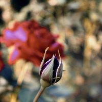 квіти троянди :: Ольга Ткач