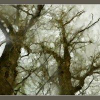 старые тополя :: павел бритшев