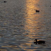 Что за вечер на пруду без уток?! :: Андрей Лукьянов