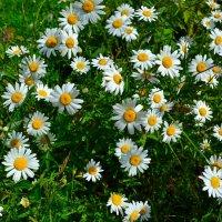 Цветы минувшего лета :: Милешкин Владимир Алексеевич
