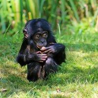 Маленький Бонобо :: Alexander Andronik