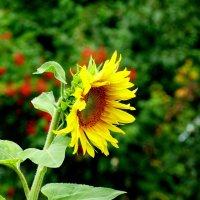солнечный цветок :: Александр Прокудин