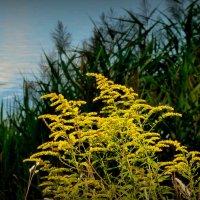 золотарник у озера :: Александр Прокудин
