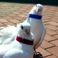 Любопытные свадебные голуби :: Damir Si