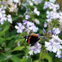 Бабочка и флоксы :: Елена Павлова (Смолова)
