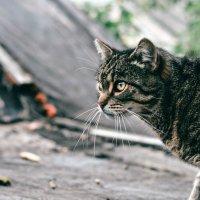 кошка Анфиса :: Мария Родионова