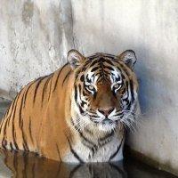 Купающийся тигр Фото №1 :: Владимир Бровко