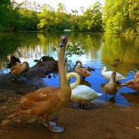 """Лебединое озеро (серия) Лебедь: """"Долго еще позировать?"""" :: Nina Yudicheva"""