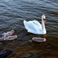 Мама со своими гадкими утятами. Они станут такими же грациозными птицами. :: Ольга Голубева