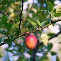 Наливное яблочко :: Валерий Новиков