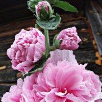 Шток роза :: Валерия
