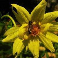 Пчела :: Анна
