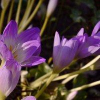 Безвременник - цветок осени :: galina tihonova