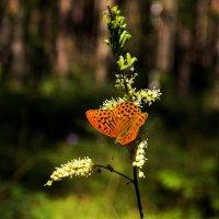 Бабочка :: Олег Дорошенко