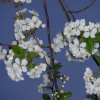 Цвет вишни :: Владимир