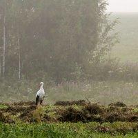 Аист и туман :: Александр