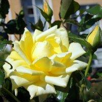 """Роза """"Landora"""". Год создания 1988. Группа флорибунда розы :: Елена Смолова"""