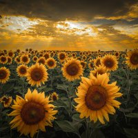 Золотой цветок полей! :: Александр Сыроватка