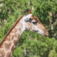 жираф :: EDO Бабурин