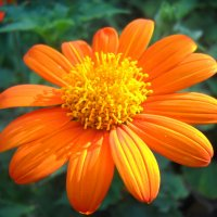 Оранжевый цветок :: Victoria