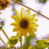 Солнечный цветок :: Николай Волков