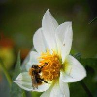 Пчелка :: НикЛеод