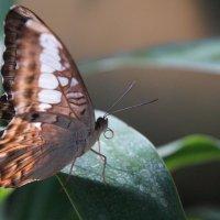 Бабочка :: Larisa Freimane
