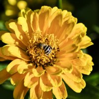 У пчелы осенние заботы. :: Aлександр **