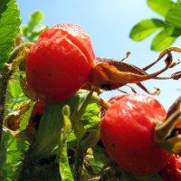 Плоды наполненные солнцем :: Наталья Пономаренко