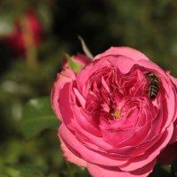 пчелка :: Анна Шишалова